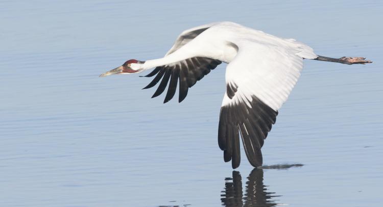 whooping crane bird