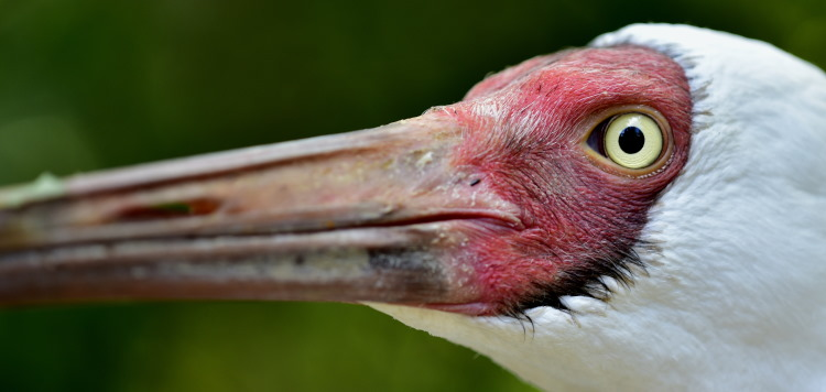 crane bird beak
