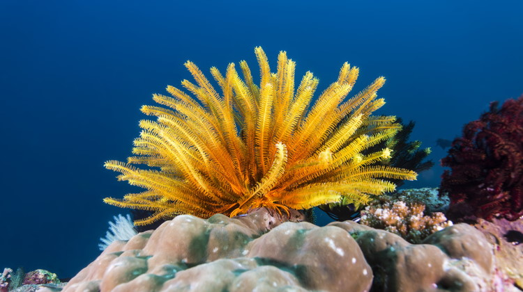 crinoid feather star feature