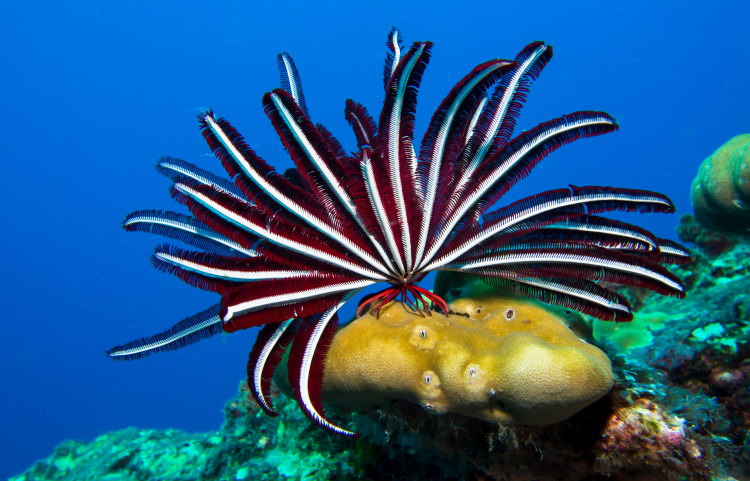 red and white featherstar
