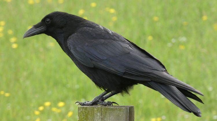 crow perching