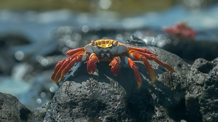 Crustacean crab feature