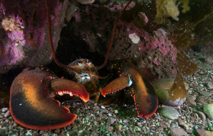 american lobster crustacean