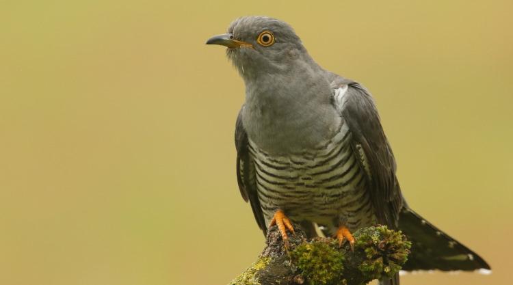cuckoo portrait