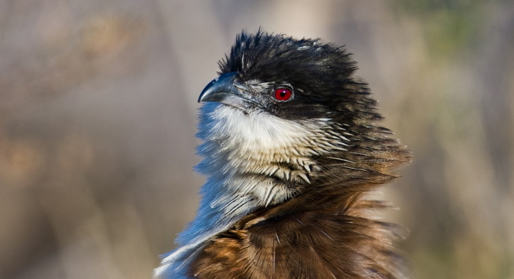 coucal close up