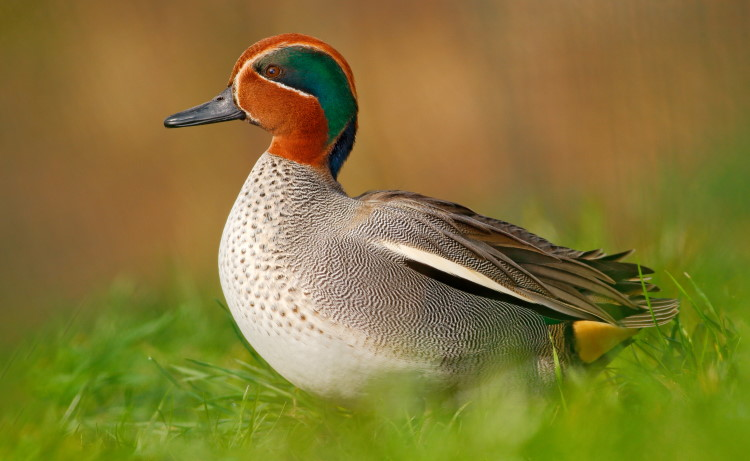 dabbling duck teal