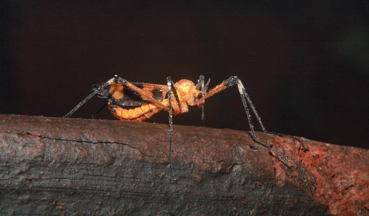 Brachycera Empididae Empis livida