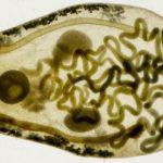 Flukes: Horrors Of The Parasitic Subclass Digenea