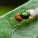 "Diptera 101: The Abundant World Of The ""True Flies"""