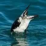 Diving Petrels: The Wonders Of The Family Pelecanoididae