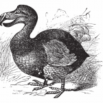 380 Years Of Extinct Birds - Including The Infamous Dodo & Great Auk