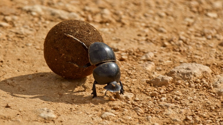 dung beetle facts banner