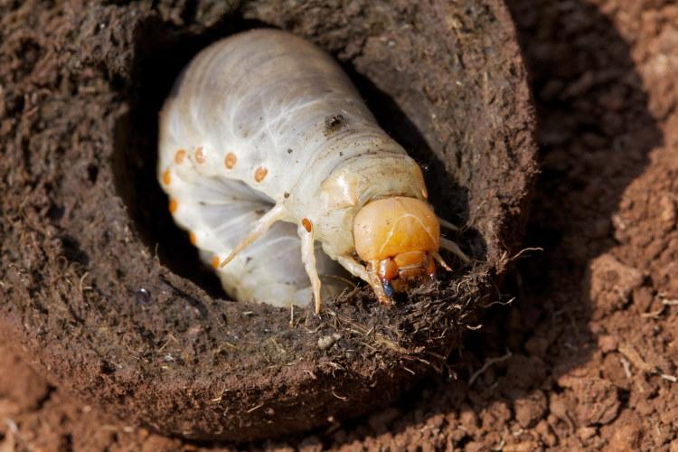 Dung beetle larvae