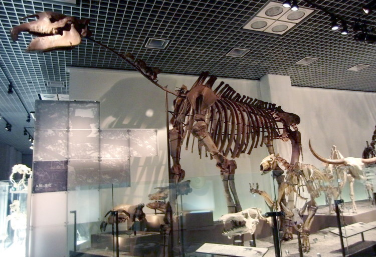 evolution of Indricotherium transouralicum