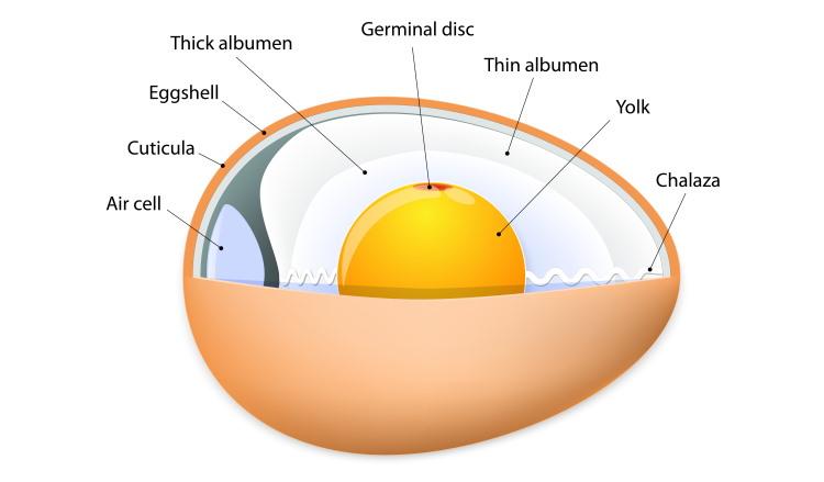 anatomy of birds egg