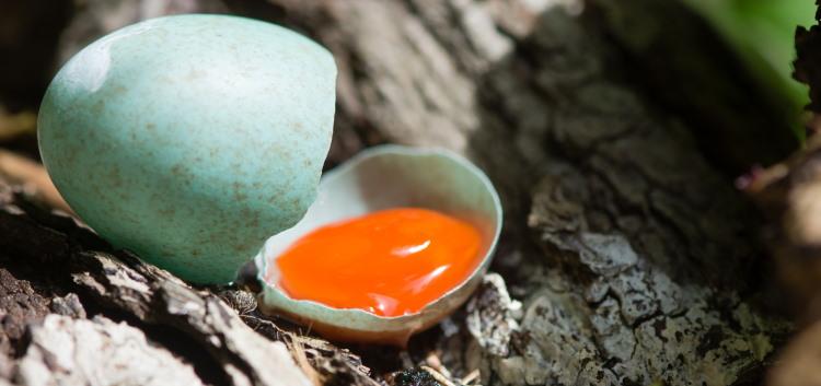 egg yolk of blackbird