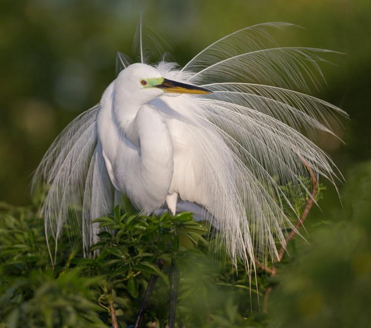 white egret plume