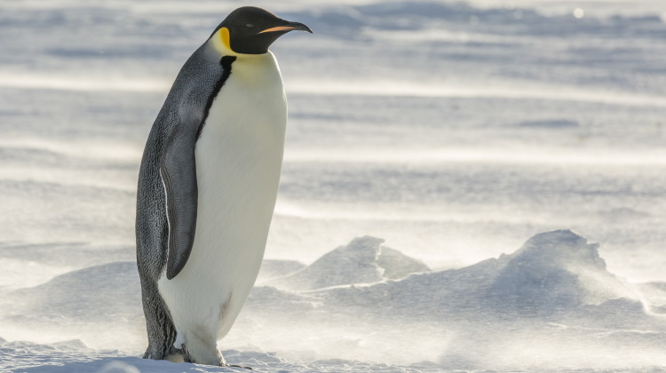 emperor penguin species image