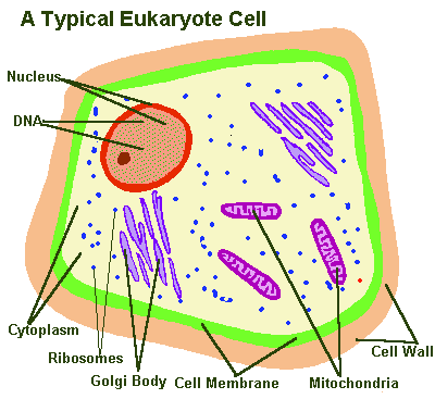 typical eukaryotic cell