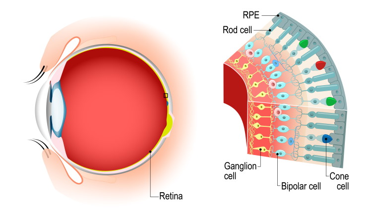 rods and cones eye anatomy diagram