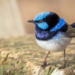 Fairy Wrens: Fascinating Birds Of Family Maluridae