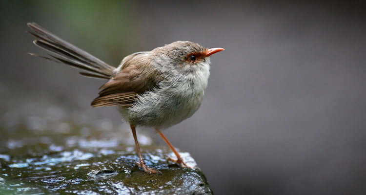 superb fairy wren female