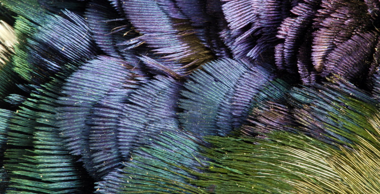 iridescent feathers in golden pheasant