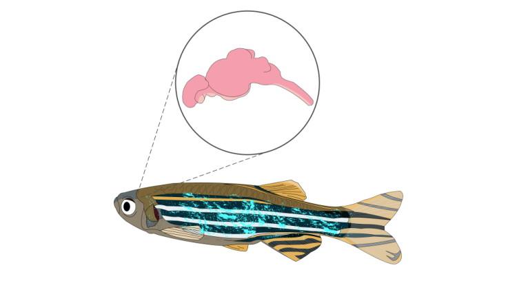 fish brain anatomy diagram