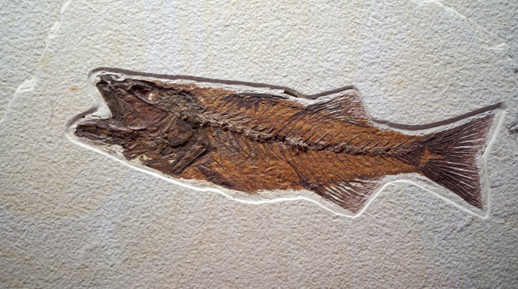 fish evolution fossill