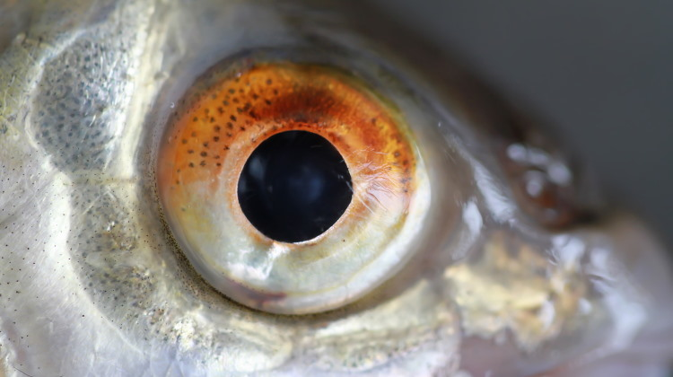 fish eyes example