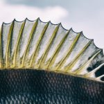 Fish Fins 101: The Caudal, Pectoral & Other Types Of Fin Explained