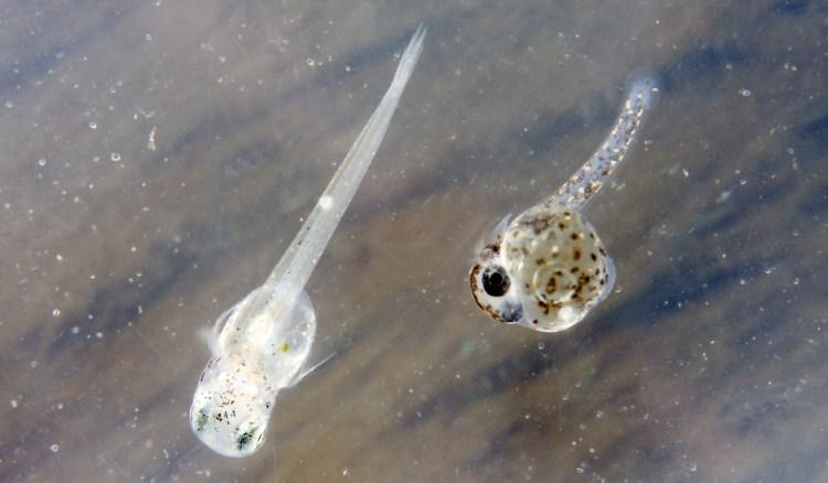 free fish larvae