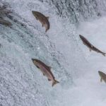 Fish Migration 101: Anadromous & Catadromous Explained