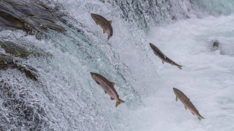 fish migration up stream