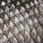 Fish Scales 101: Placoid, Ganoid & Other Types Of Scale Explained