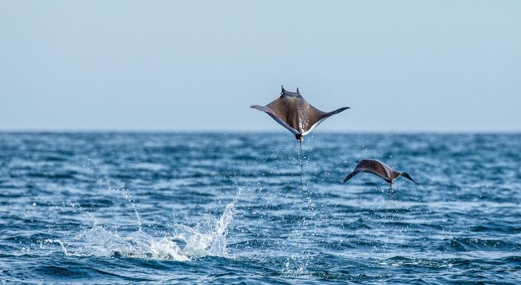 flying fish locomotion