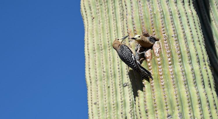 nesting hole in cactus