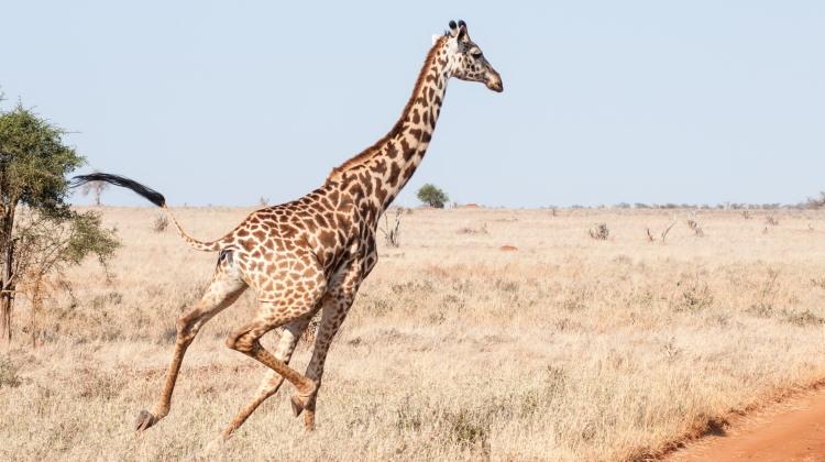 mammal locomotion giraffe