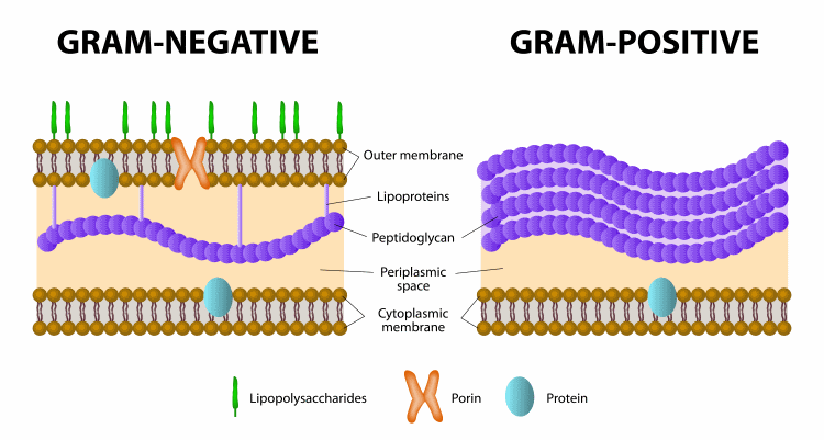 difference between gram positive and gram negative