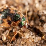 Carabidae: Highly Successful Family Of The Ground Beetle