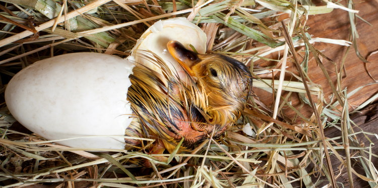 Bird's egg hatching