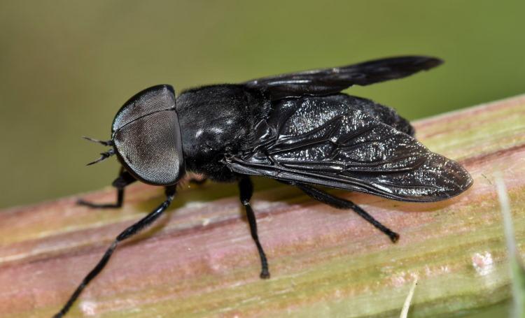 Tabanus atratus horse fly