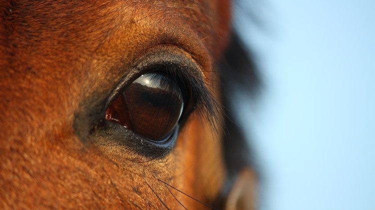 mammal vision shown in horse eye