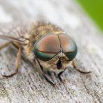 Brachycera: Stocky Suborder Of The Robber Fly & Horse Fly