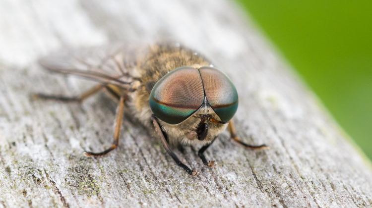 giant horse fly of order Brachycera