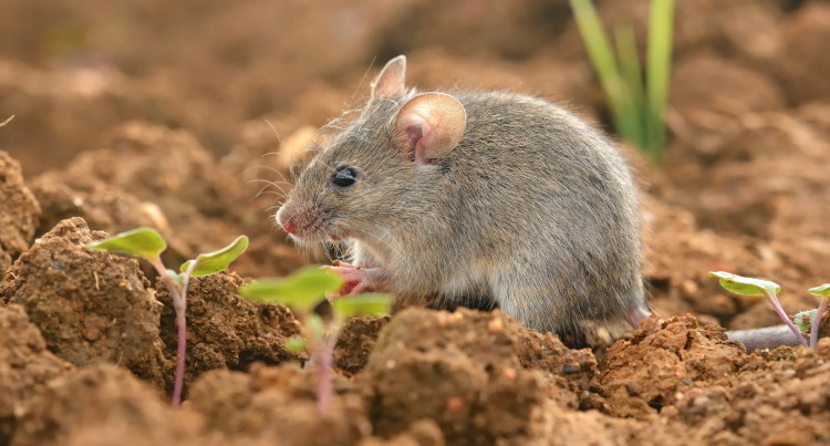 house mouse population density fact