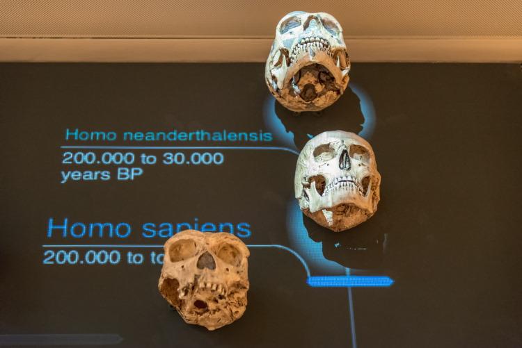 homo neanderthalensis ancestor