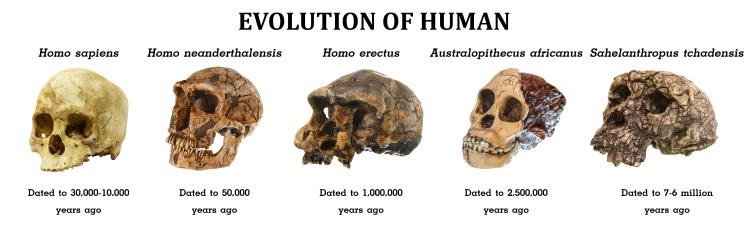 evolution of human skull