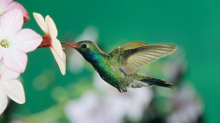 hummingbird facts header