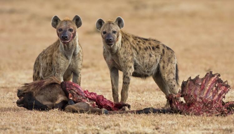 carnivore mammal hyena